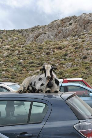 Balos Lagoon: Friends that may befriend you while your car is parked.