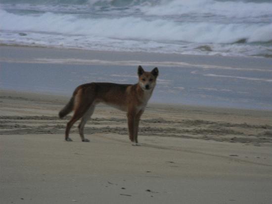 Seventy-Five Mile Beach : dingo