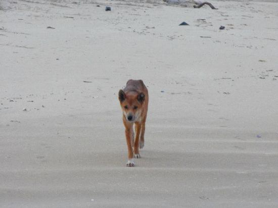 Seventy-Five Mile Beach: dingo