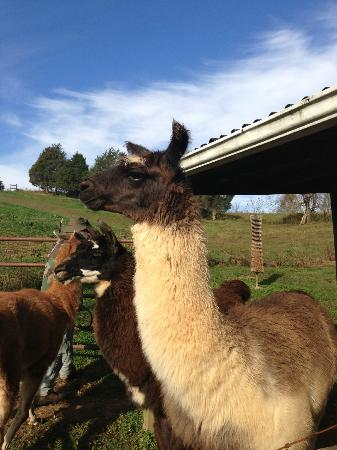 Applewood Inn, Llama Trekking & Cottage: Few of the llamas