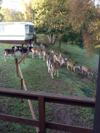 Silver Trees Holiday Park: lots of deer that will eat out of your hand
