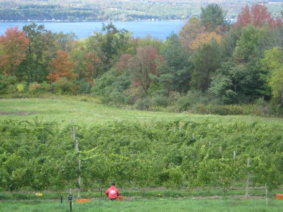 Silver Thread Vineyard overlooking Seneca Lake