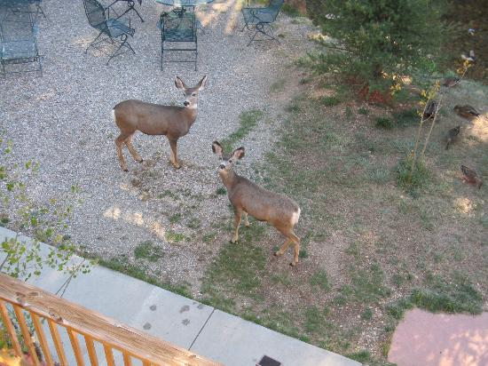 BEST WESTERN Rivers Edge: Local deer in backyard of motel