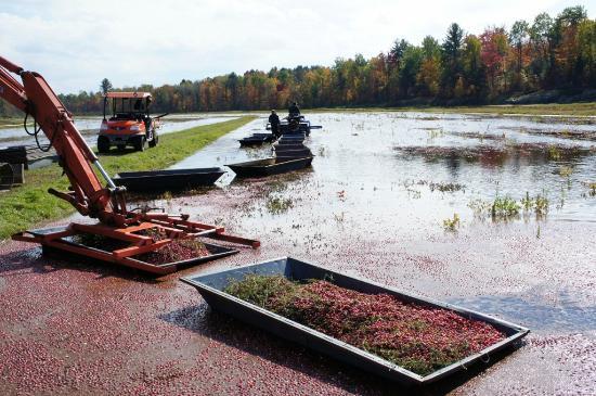 Johnston's Cranberry Marsh & Muskoka Lakes Winery: Cranberry picking