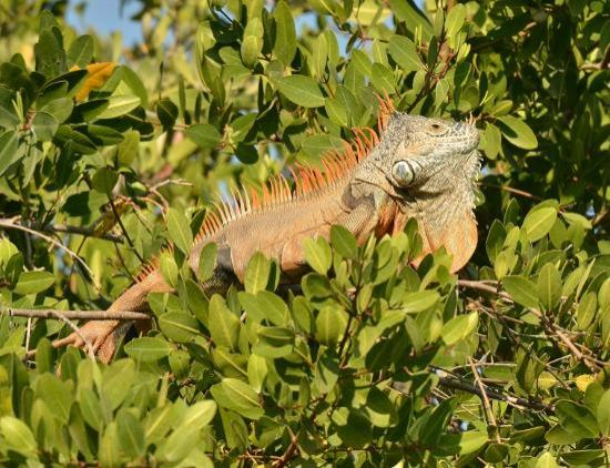 African Queen Steamboat Tour: Iguana