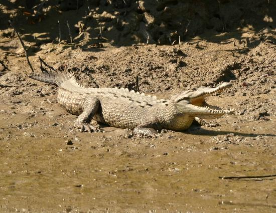 African Queen Steamboat Tour: Crocodile