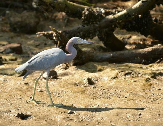 African Queen Steamboat Tour: Little Blue Heron
