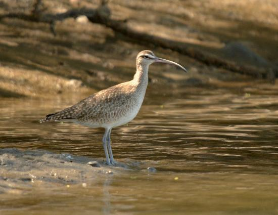 African Queen Steamboat Tour: Whimbrel (?)