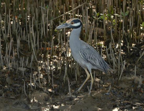 African Queen Steamboat Tour: Yellow-crowned Night Heron