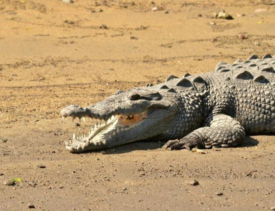 African Queen Steamboat Tour: Large Crocodile