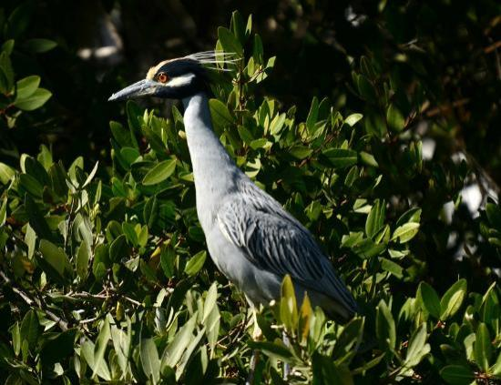 African Queen Steamboat Tour: Yellow Crowned Night Heron