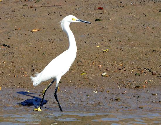 African Queen Steamboat Tour: Snowy Egret