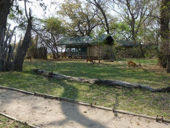 Camp Xakanaxa: Resident bushbucks grazing near tents