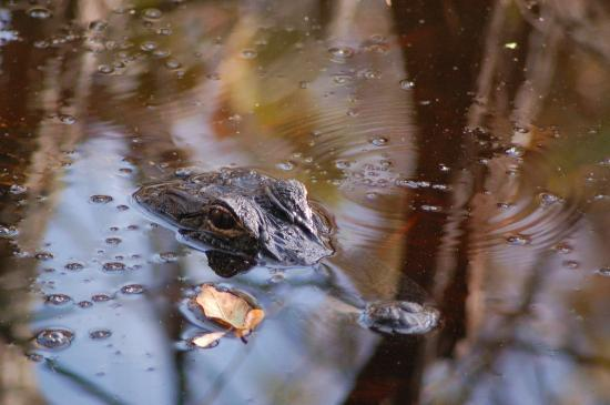 St. Andrews State Park: Alligator at Alligator Lake