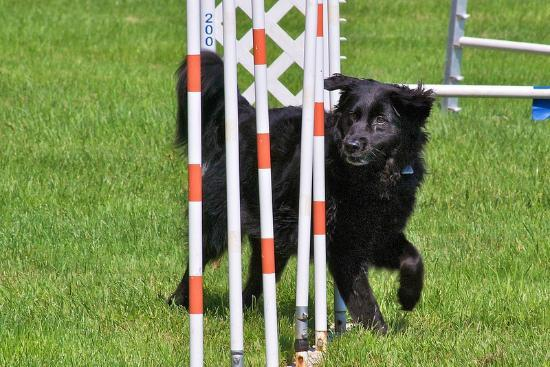 The Getaway at Glen Highland Farm: Dahlia trying out the weave poles