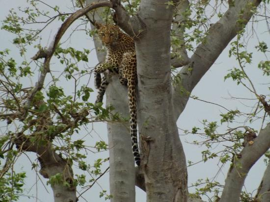 Cresta Mowana Safari Resort and Spa: Leopard from our Game Drive