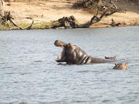 Cresta Mowana Safari Resort and Spa: Up close and personal with a hippo