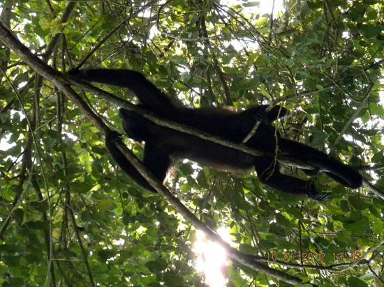 Alouatta Sanctuary: How do Howlers Chill Out On a Hot Day Ask Kiki