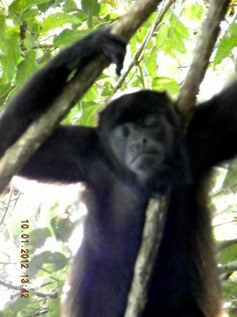 Alouatta Sanctuary: Kiki Chillin'