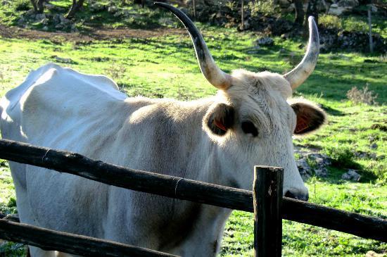 Azienda Agrituristica Bio Le Macchie Alte : vache de la ferme