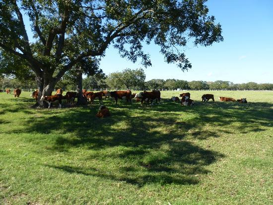 Lyndon B. Johnson National Historical Park: Cattle on LBJ Ranch