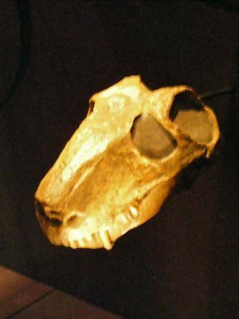 Museo Real Tyrrell: Mammal-like reptile skull