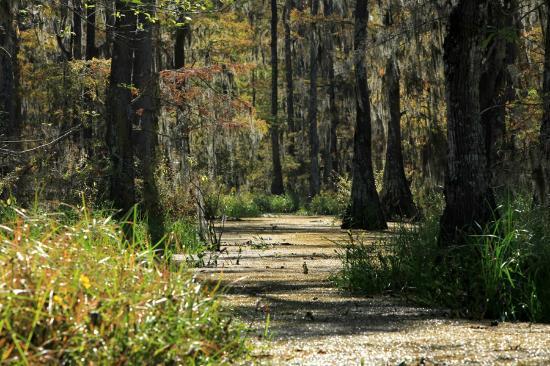 Champagne's Cajun Swamp Tours: Swamp 'road'