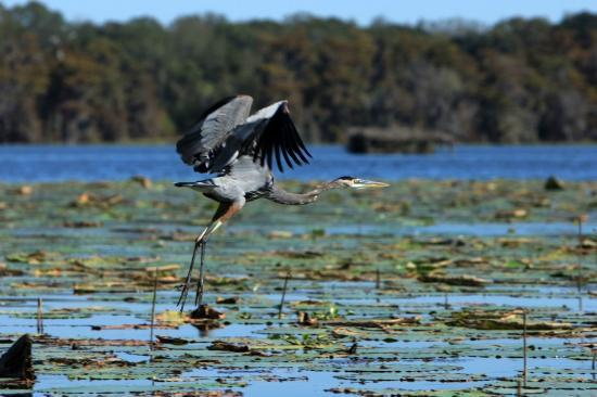 Champagne's Cajun Swamp Tours: The take off... 