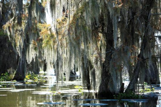 Champagne's Cajun Swamp Tours: Moss