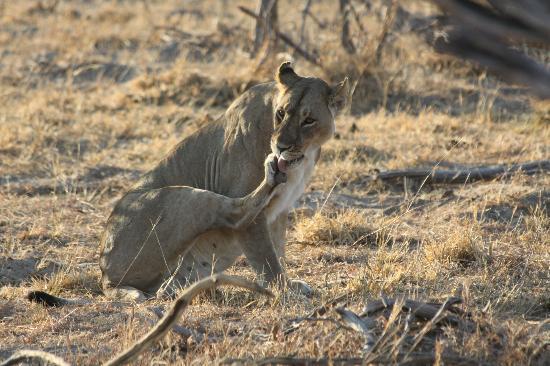 Somalisa Camp : Lion on a drive