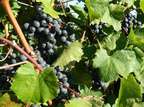 Niagara Grape & Wine Tours: Grapes...delicious