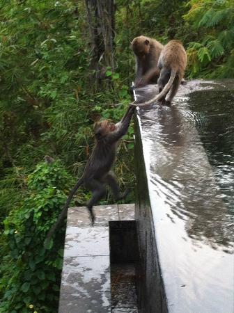 Hanging Gardens of Bali: Monkey playing in Pool