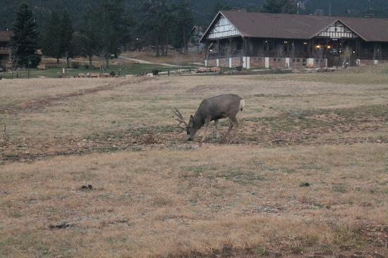 YMCA of the Rockies: Deer in front of administration 