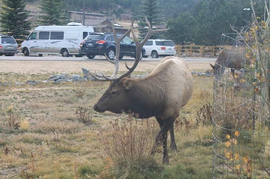 YMCA of the Rockies: Elk in our front yard