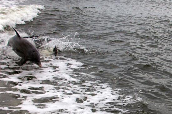 Captiva Island, FL: Playful dolphins along the way