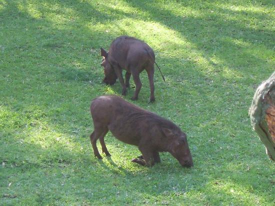 Chobe Safari Lodge: Warthogs houden hier het gras kort