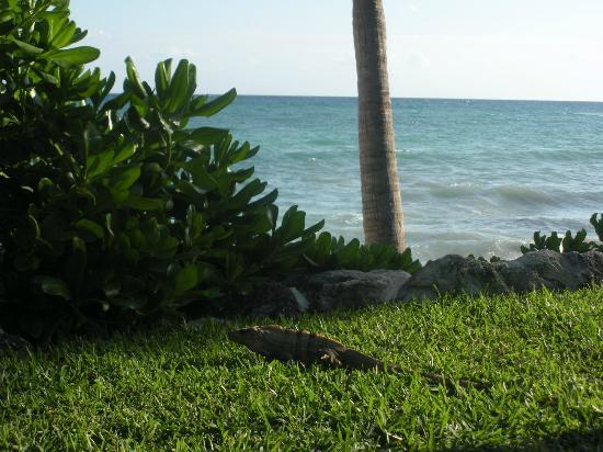 Mahekal Beach Resort: Leguan by the pool of the hotel