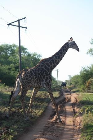 Lion Sands River Lodge: Giraffe viewed on one of our game drives