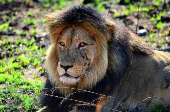 Kololo Game Reserve: Lion - Welgevonden