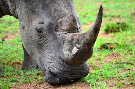Kololo Game Reserve: White rhino - Welgevonden