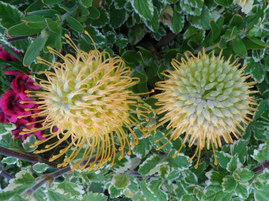 House Cherry: more protea flowers