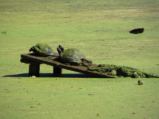 Audubon Swamp Garden: gators and turtles hanging out