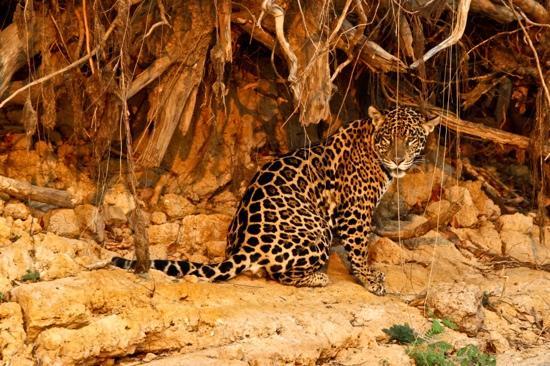 Cuiaba, MT : a Jaguar at sunset