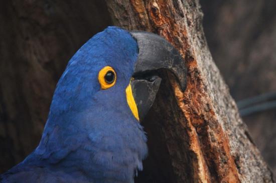 Cuiaba, MT : Hyacinth Macaw