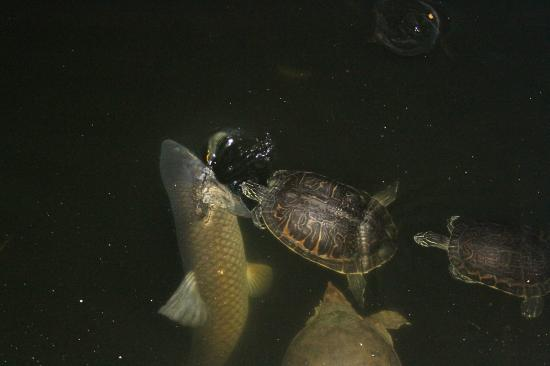 Crane's Roost Park: Big fish and turtles