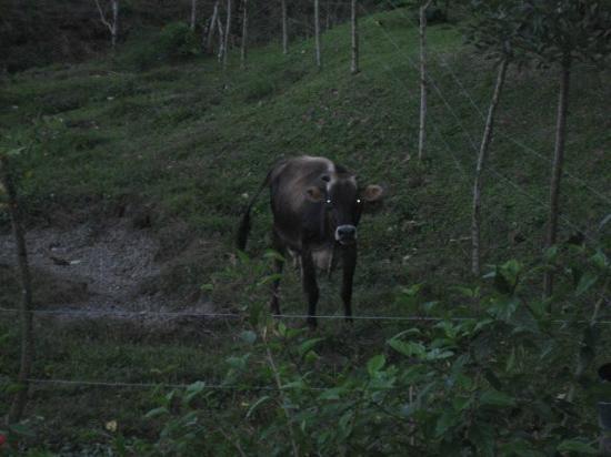 Arenal Volcano Inn: Cow.