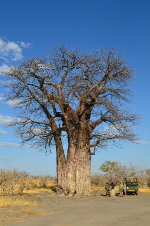 Chobe National Park, بوتسوانا: Baobab - Savuti Chobe National Park 