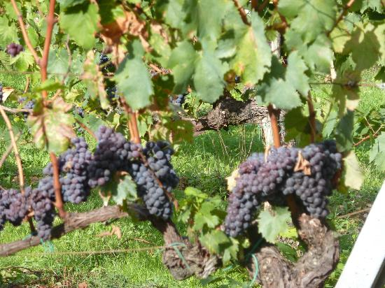 San Donato in Poggio, Italie : Delicous looking grapes!