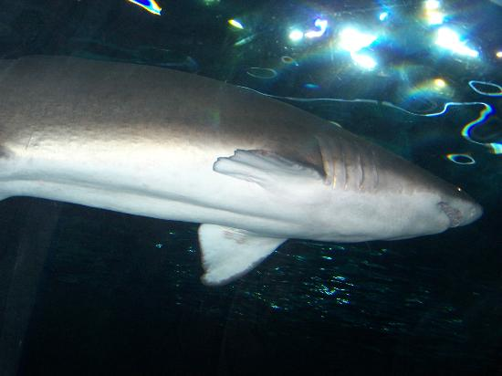 Shark Picture Of Ripley 39 S Aquarium Myrtle Beach