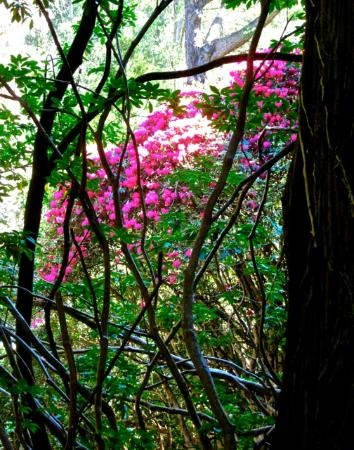 Woolrich Historic Garden Accommodation: Rhododendrons in the magnificently wild garden